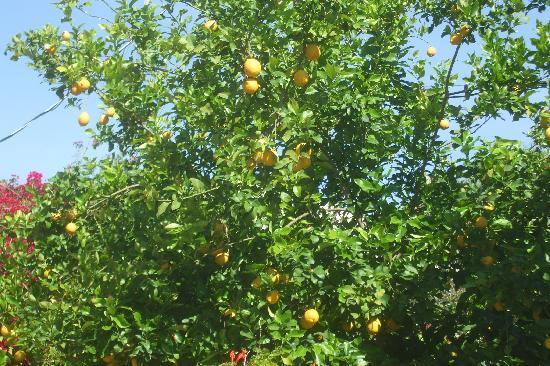 Helios: Lemons just ripe for the pickin!!!