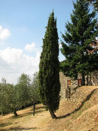 Borgo Stoppi: Cypress grows there