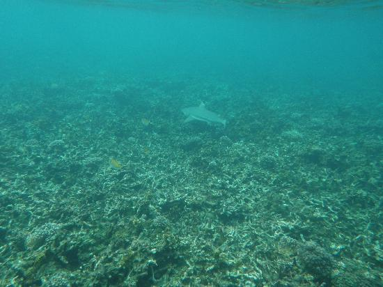 Blue Heaven Resort: Black tip reef shark