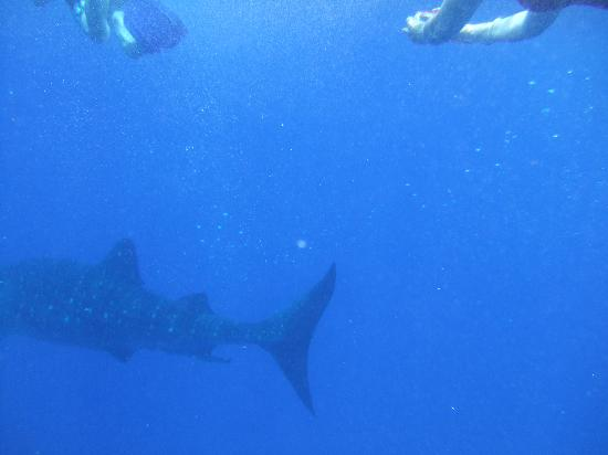 Utopia Village: one of several whale sharks we saw