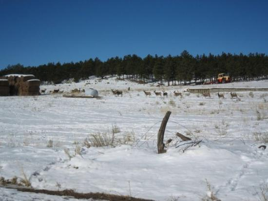 Westcliffe, CO: There were deer everywhere!