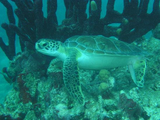 Jolly Dive Center: Loggerhead Sea Turtle