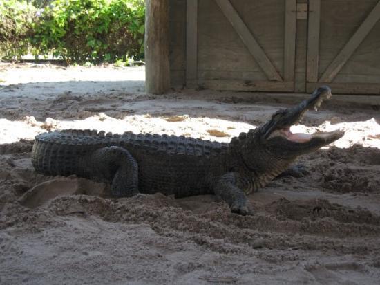 Miccosukee, Φλόριντα: Everglades - Aligator Farm