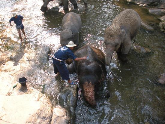 Maesa Elephant Camp: elephants bathing
