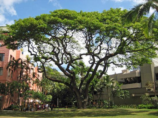 The Royal Hawaiian, a Luxury Collection Resort: Royal Hawaiian Courtyard Tree