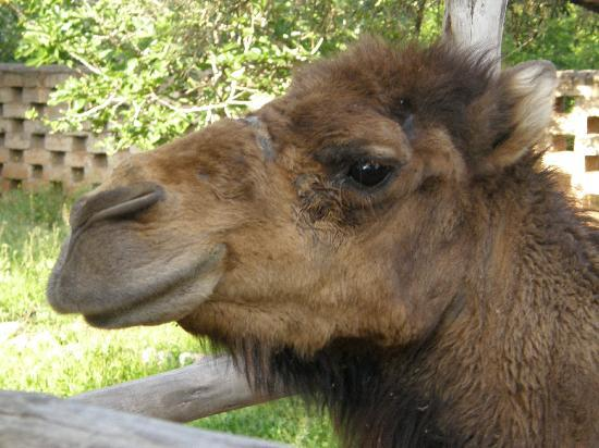 Jereca Farm : One of the Camels