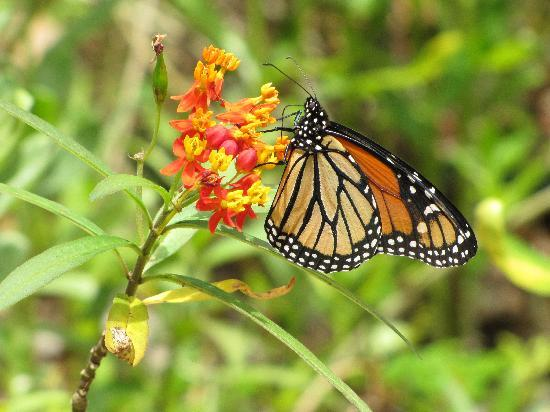 Sarasota Jungle Gardens: In the butterfly garden