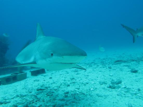 Simpson Bay, St Martin / St Maarten: Shark encounter 1