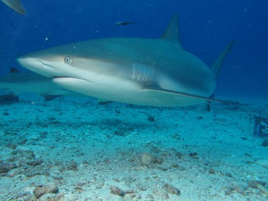 Simpson Bay, St Martin / St Maarten: Shark encounter 2
