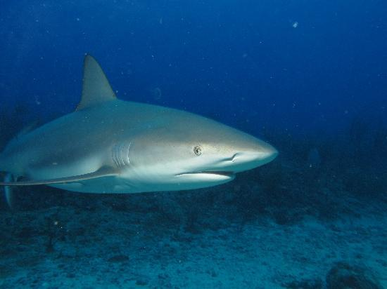 Simpson Bay, St Martin / St Maarten: Shark encounter 3
