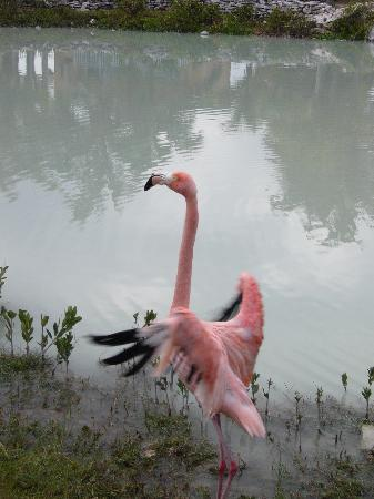 TRYP Cayo Coco: flamant rose