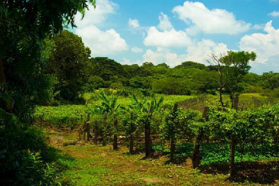 Zamora Estate Hotel: Vineyard at Zamora