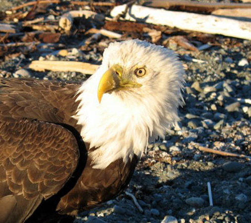 Bates Beach Oceanfront Resort: Eagles are one of the frequent visitors to the resort!