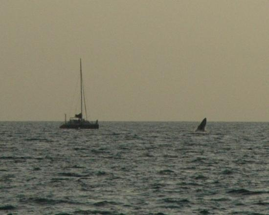 Wailea, HI: Also while at Sarento's - just off shore - another whale was breaching out by this boat. Wow, di