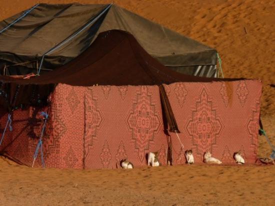 Casablanca, Marokko: Even the cats like the tent accommodation in the Sahara!