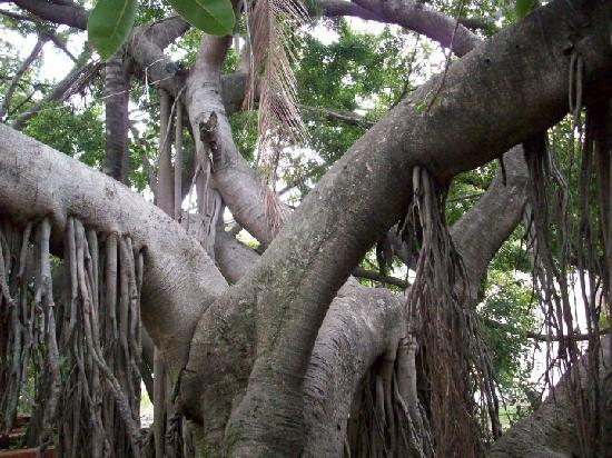 Chapala, Mexico: 100 year old rubber tree