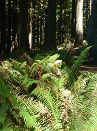 Arcata Community Forest: Lundi, promenade dans le Redwood parc. Magnifique. Et l'odeur du bois chauffe par le soleil...