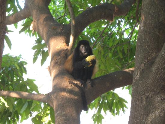 Occidental Papagayo - Adults only: Baby Howler Monkey on Resort