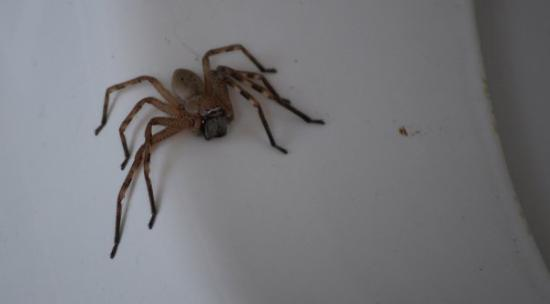 Huntsman på toa, creepy - Picture of Port Stephens, Greater
