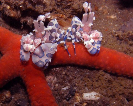 ... this? These are Absolutely Insane!!! They are Harlequin Shrimp