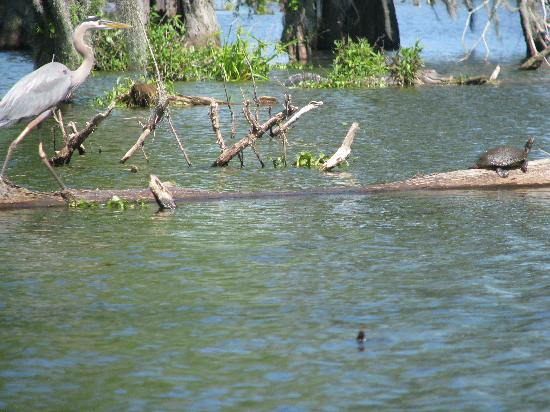 Saint Martinville, LA: Great Blue Heron and turtle