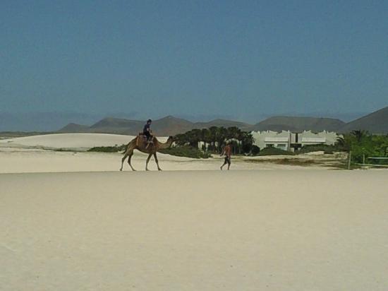 Las Marismas de Corralejo: Camels on Flag Beach