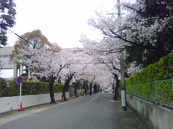 Nagoya, Japan: 付近の道にも桜