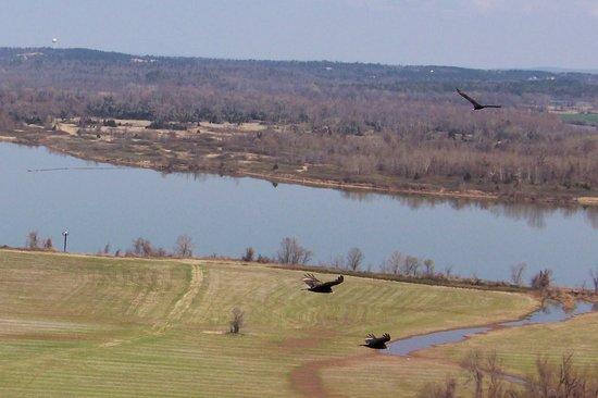 Little Rock, AR: some of the many black vultures that soar above the park