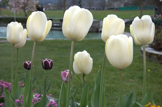 Unterseen, Zwitserland: Tulips everywhere in Interlaken, April 2010