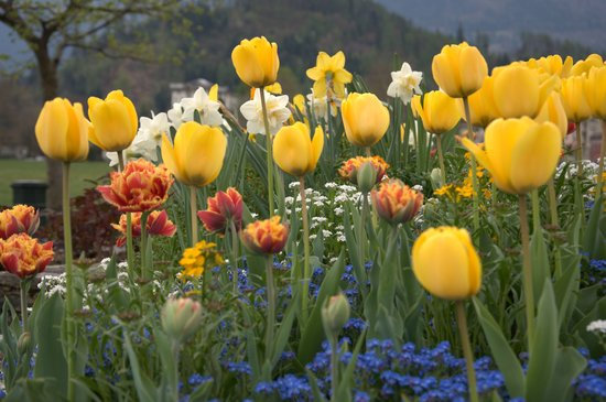 Unterseen, Suiza: Tulips blooming almost everywhere in Interlaken.
