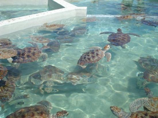 Cayman Turtle Centre: Island Wildlife Encounter: Turtle Farm, Grand Cayman