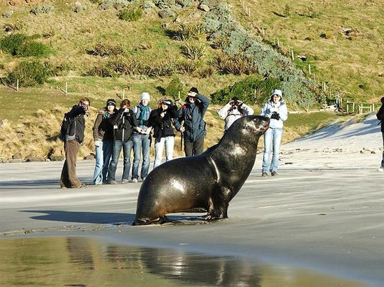 Dunedin, Nouvelle-Zélande : Sealion viewing