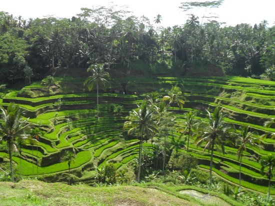 Love bali picture of tegalalang rice terrace ubud for Tegalalang rice terrace ubud