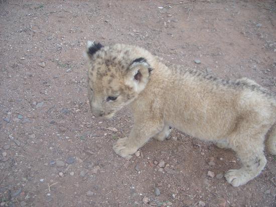 Daniell Cheetah Project: Lion cub
