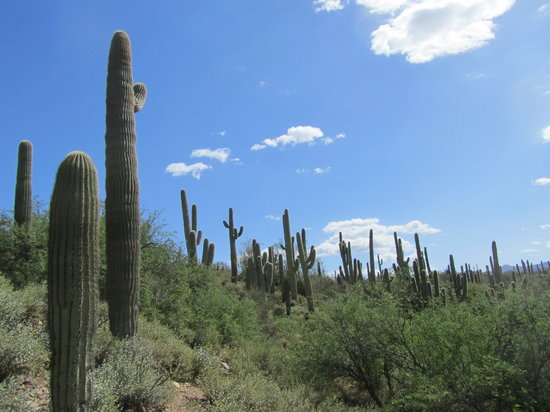 Phoenix, AZ: The Saguaro Forest in the Sonoran Desert