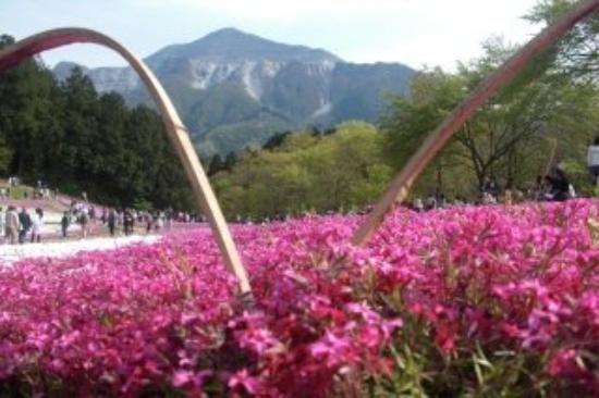 Ground pink Hitsujiyama park,Chichibu,Saitama Pref.  埼玉県秩父市 羊山公園の芝桜