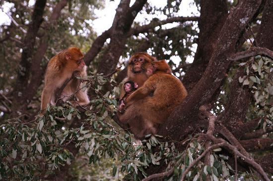 Fez, Marruecos: Fes - roadside monkeys on the way to Fes