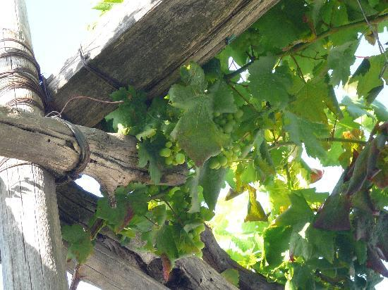 Hotel Continental: Grape vines growing on our balcony