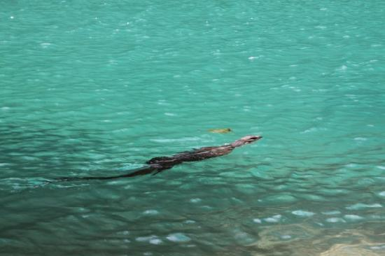 Palawan, Filippinerna: monitor lizard taking a dip beside us