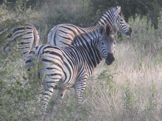 Tubu Tree Camp: Zebras