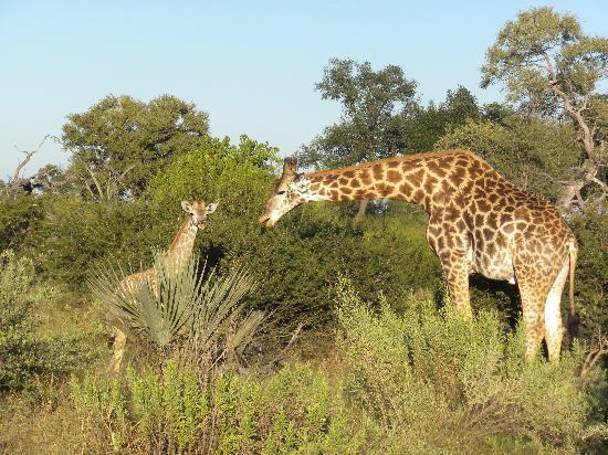 Tubu Tree Camp: giraffes