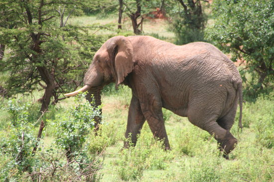 Siana Springs: The great African elefant