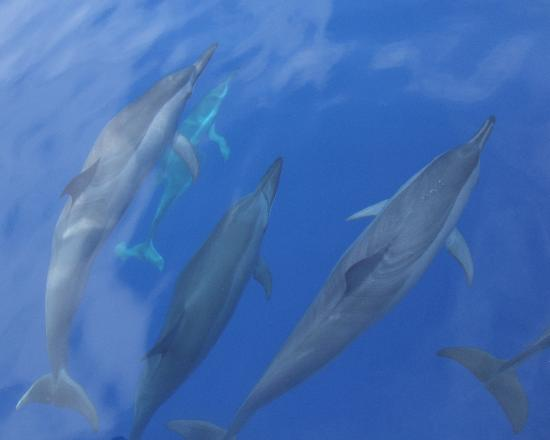 Utopia Village: SPINNER DOLPHINS