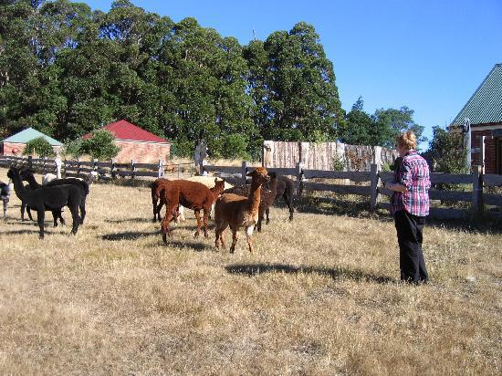 Tin Dragon Trail Cottages: Feeding the Alpacas