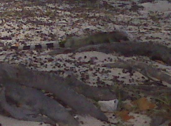 Big IGUANA chillin under the Sea Grape trees on the beach in St. Thomas