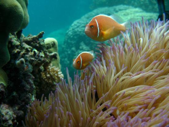 Port Douglas, Australie : Mr. and Mrs. Nemo Clown Fish on the Agincourt section of the Great Barrier Reef
