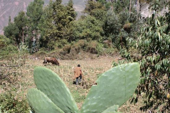 Urubamba, Perú: Farmer bundling the cornstacks after harvest.