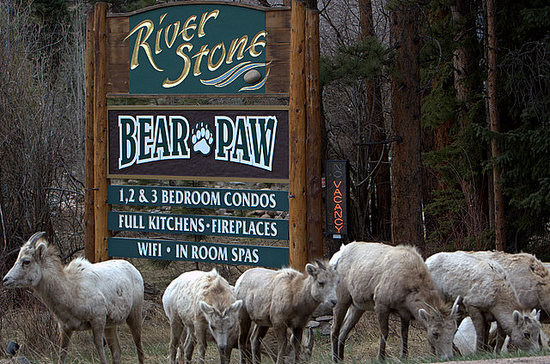 River Stone Resort and Bear Paw Suites: A Spring visit from the Big Horn Sheep