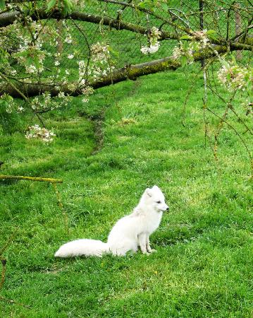 Greater Vancouver Zoo: Cut little Artic fox
