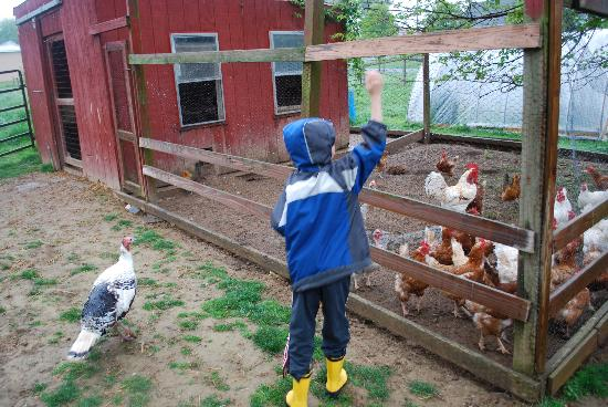 Olde Fogie Farm: Chickens!